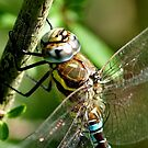 Aeshna Mixta by Russell Couch