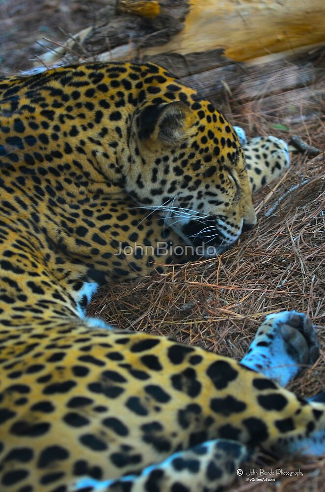 Sleeping Jaguar by JohnBiondo