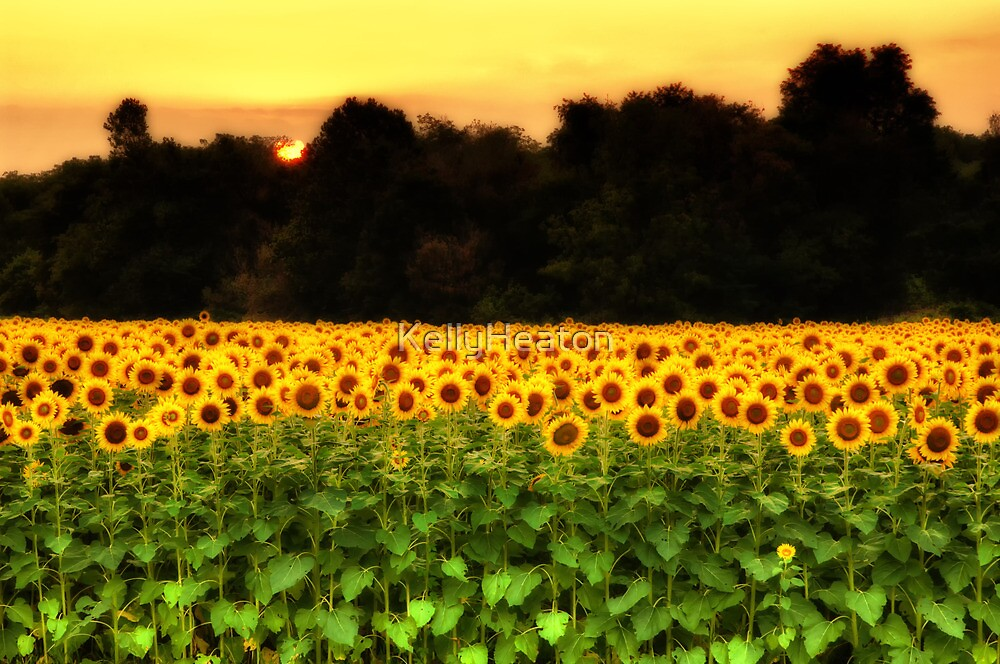 Sunflower Midnight Glow  by KellyHeaton