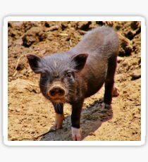 A Confident Little Porker Sticker