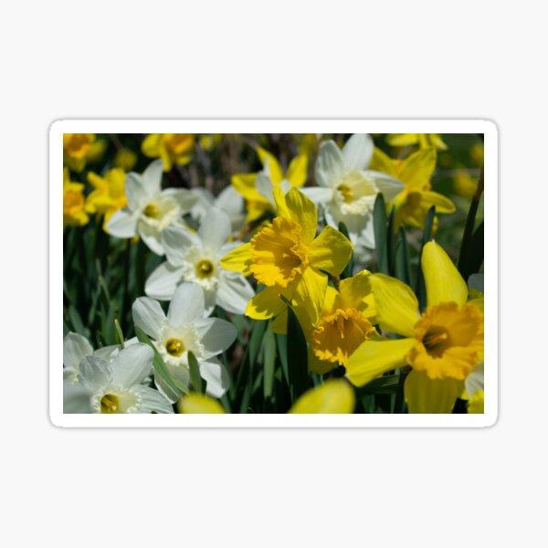 backyard daffodils Sticker