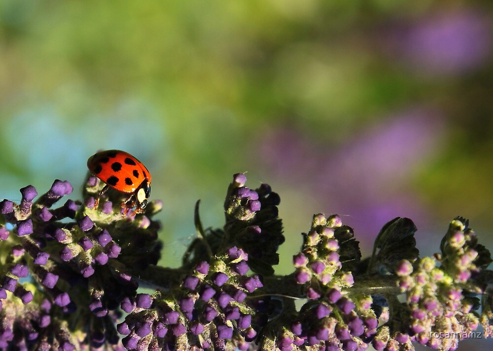 Walking Ladybird.. by rosannamz