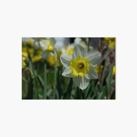 white daffodil Art Board Print