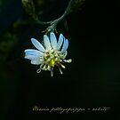 Olearia phlogopappa (white) by Rosalie Dale
