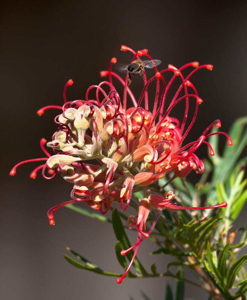 Grevillea Flower by David Jamrozik
