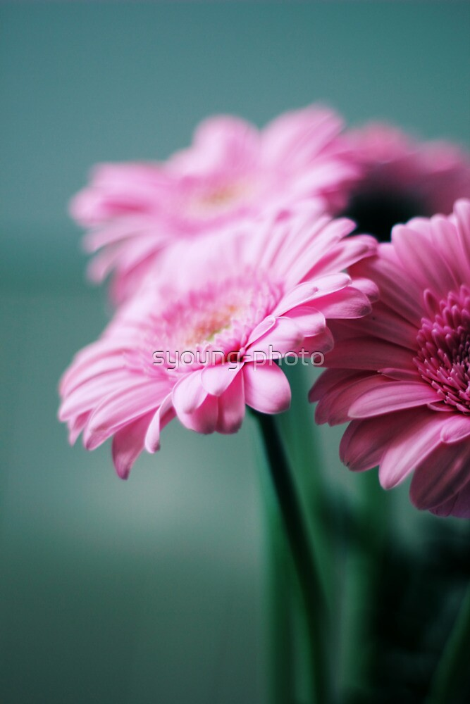 Pink Gerbera Dream °2 by syoung-photo