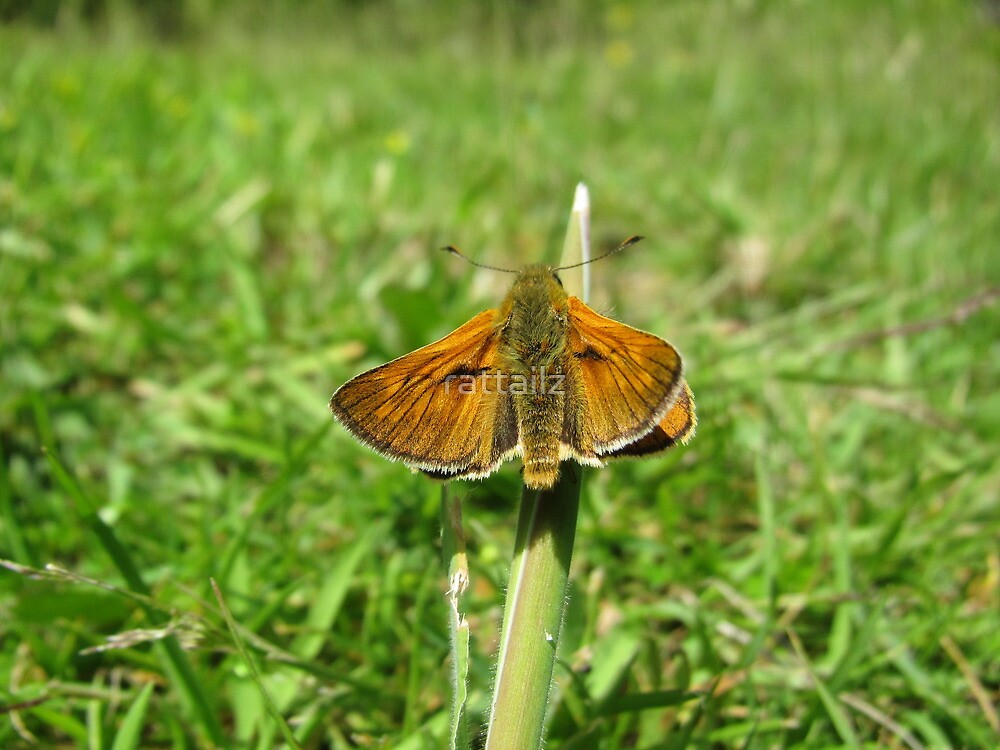 Large Skipper Butterfly by rattailz