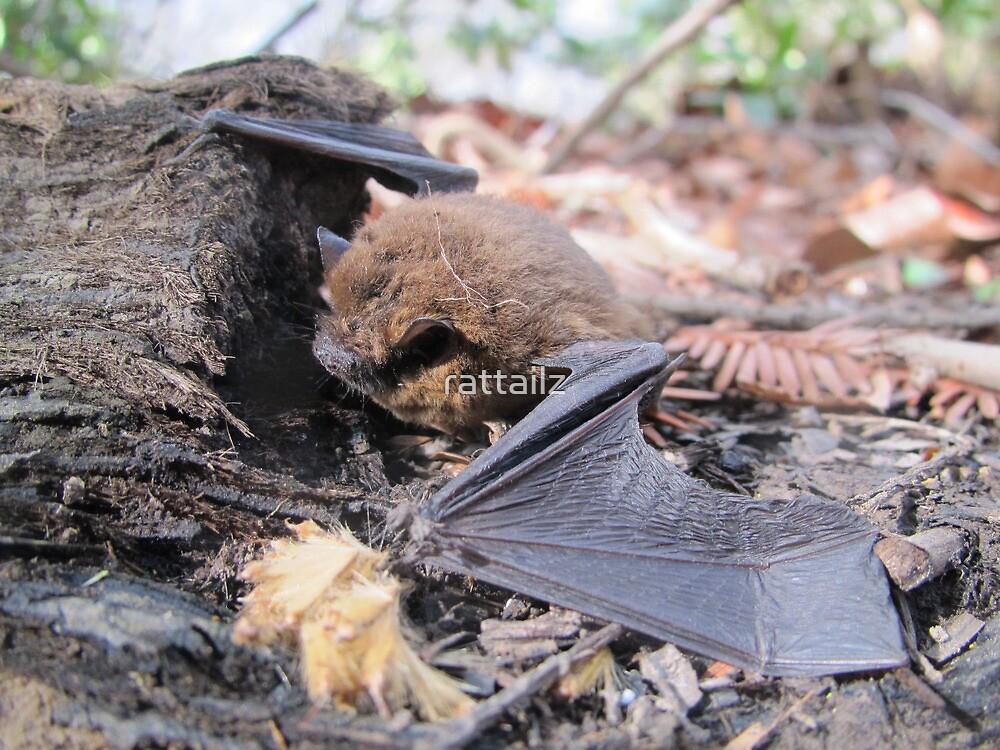 Pipestrelle Bat by rattailz