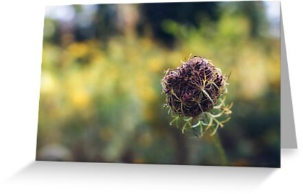 Wild Carrot (going to seed) by Aaron Campbell