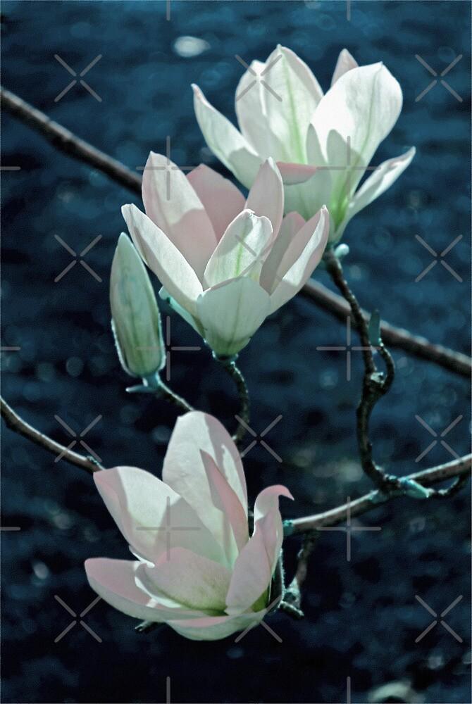 Magnolia by Vac1