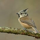 Crested Tit (Parus cristatus) by Peter Wiggerman