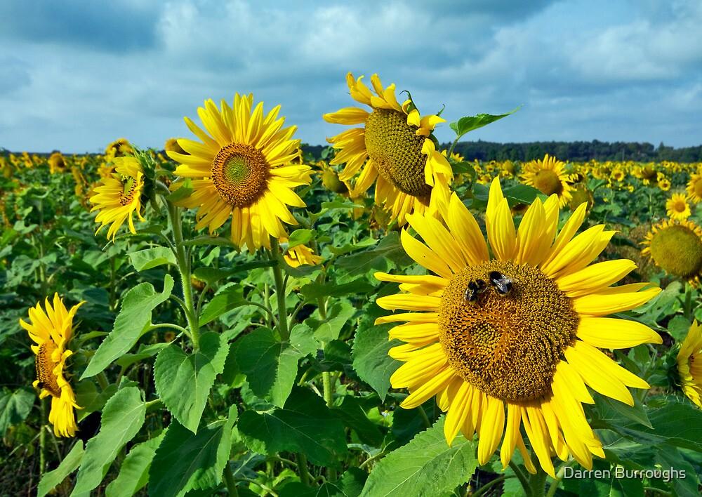 Sunflowers by Darren Burroughs
