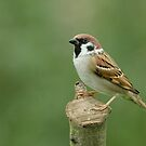 Tree Sparrow (Passer montanus) by Peter Wiggerman
