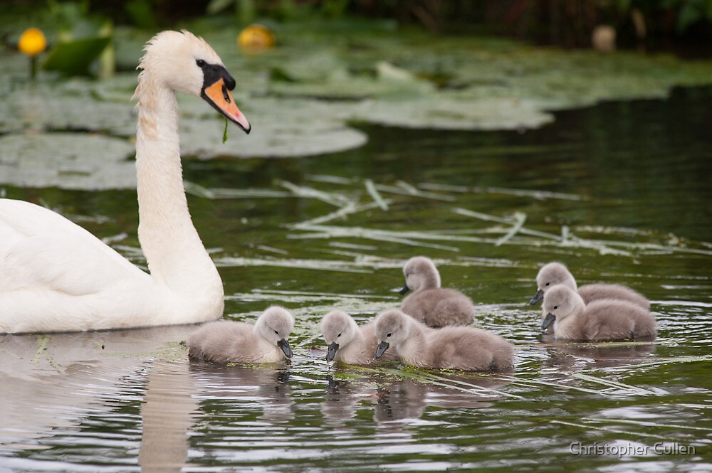 Swan and her Cygnets by Christopher Cullen