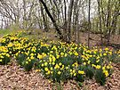 Daffodils in the Forest by Barberelli