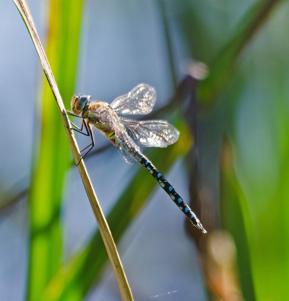 HairyDragonfly by Paul Spear