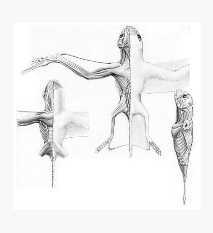 Anurognath Muscle Study Photographic Print