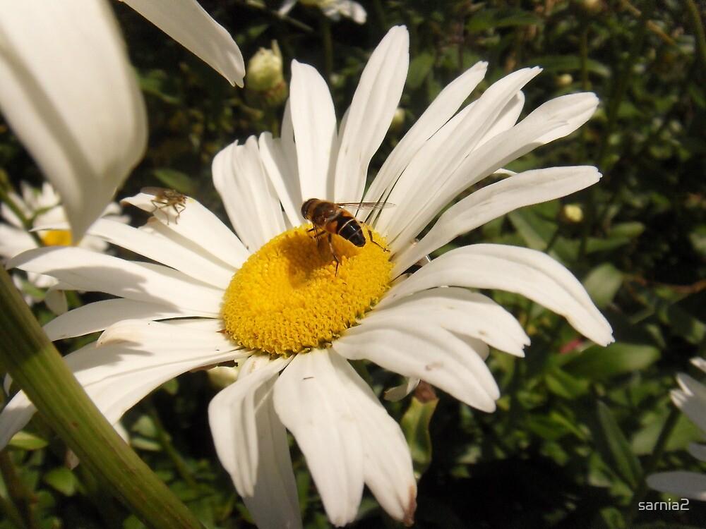Daisy Daisy....... by sarnia2