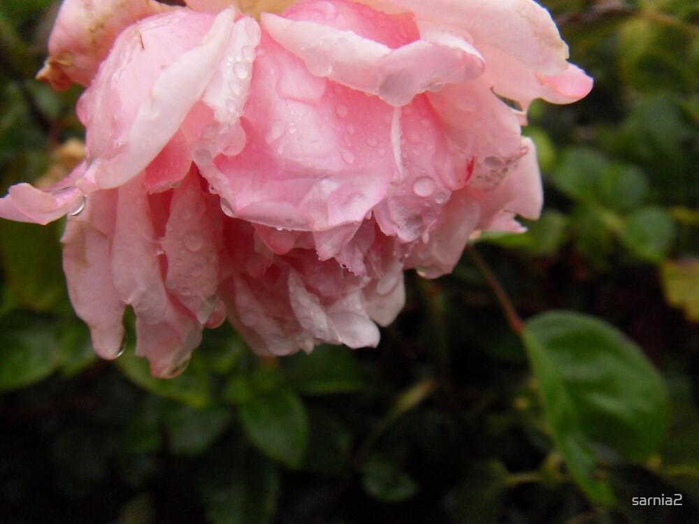 Softly - Crying rose by sarnia2