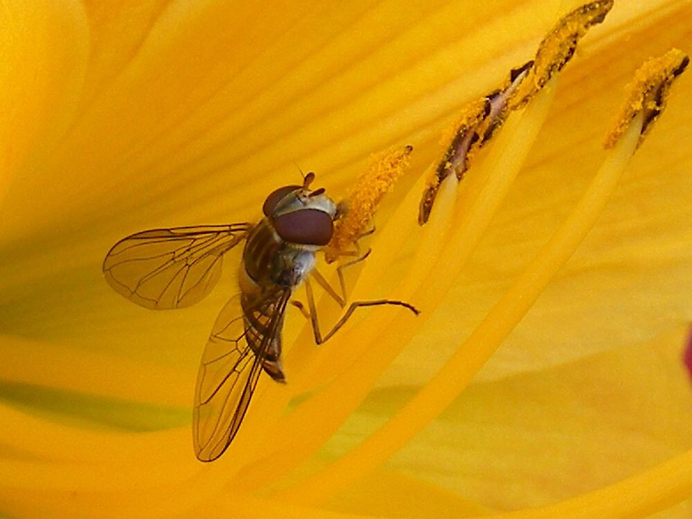 Hover fly by Dave646