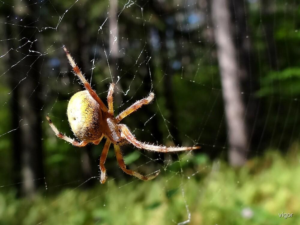 Banded Garden Spider by vigor