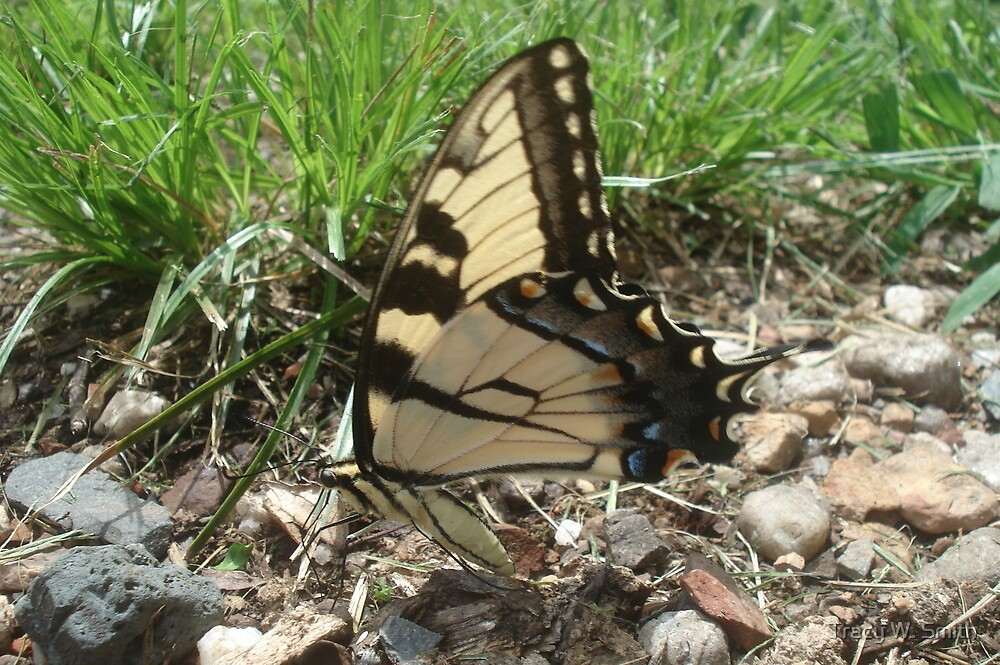 Tiger Swallotail Butterfly by Tracy W. Smith