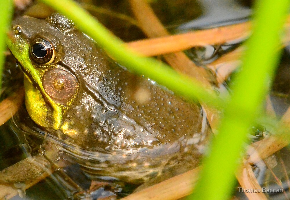 I'm Hiding In Here from You (Bronze Frog) by TJ Baccari Photography