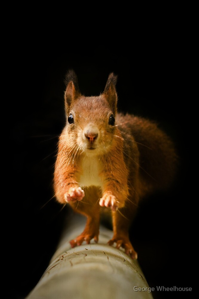 Red Squirrel - On The Run by George Wheelhouse