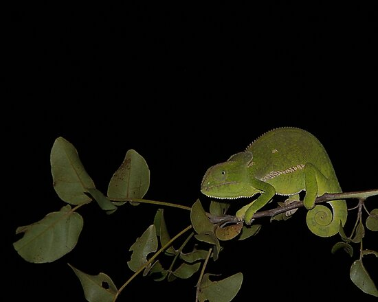 Chamelion at night by Ian Mitchell