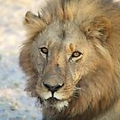 The Lion Botswana by vawtjwphoto