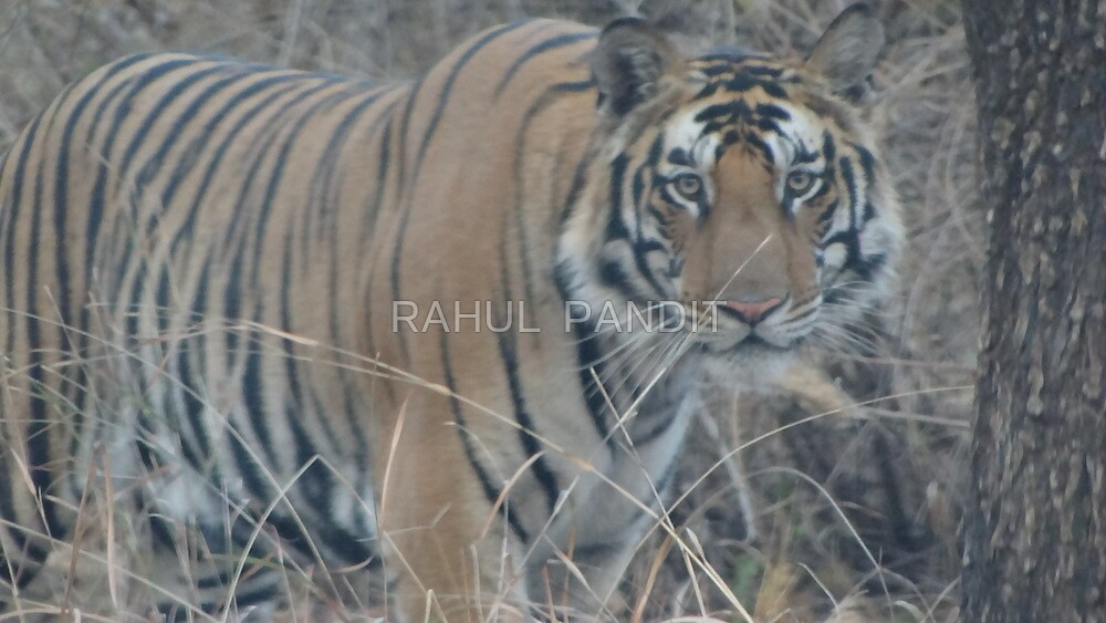 Giant Indian Tiger by RAHUL  PANDIT