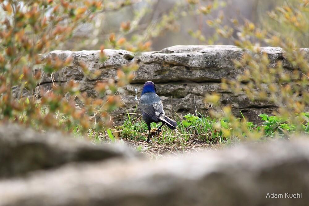 Blue Headed Black Bird by Adam Kuehl