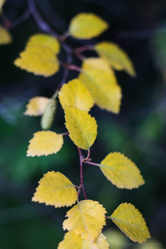 yellow branch by JorunnSjofn Gudlaugsdottir