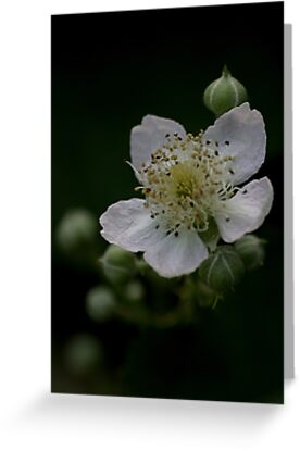 Blackberry flower in a hedgerow by Ian Mitchell