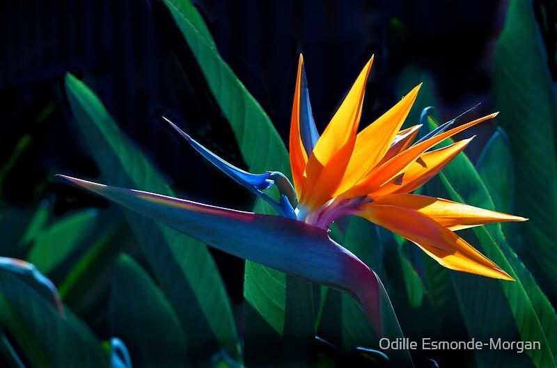 Quot Bird Of Paradise Flower Strelitzia Nicolai Quot Posters By