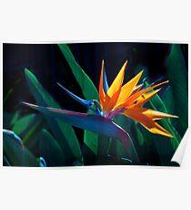 Bird of Paradise flower (Strelitzia nicolai) Poster