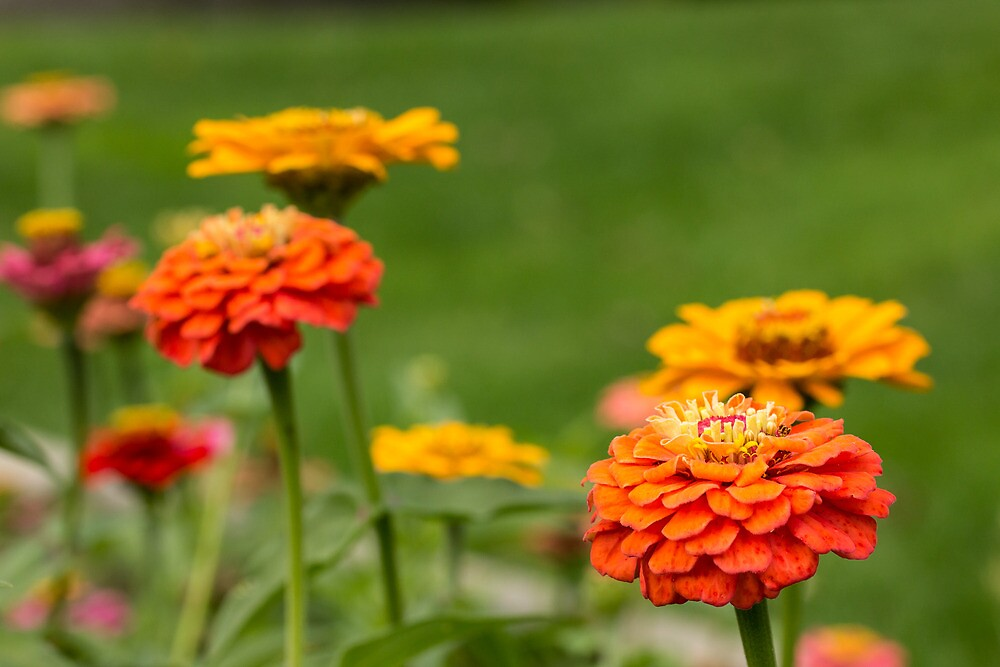 Colorful Zinnias in Autumn by wolterk