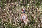 Pheasant in Long Grass by Nigel Bangert