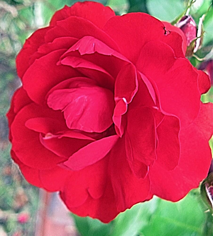 Red, Red Rose! by Darlene Bayne