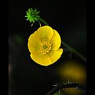 Yellow Flower by metronomad