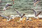 Gull Fight by Nigel Bangert