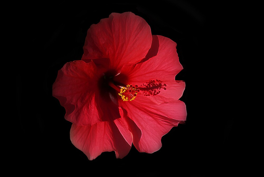 Red Hibiscus by Brian104