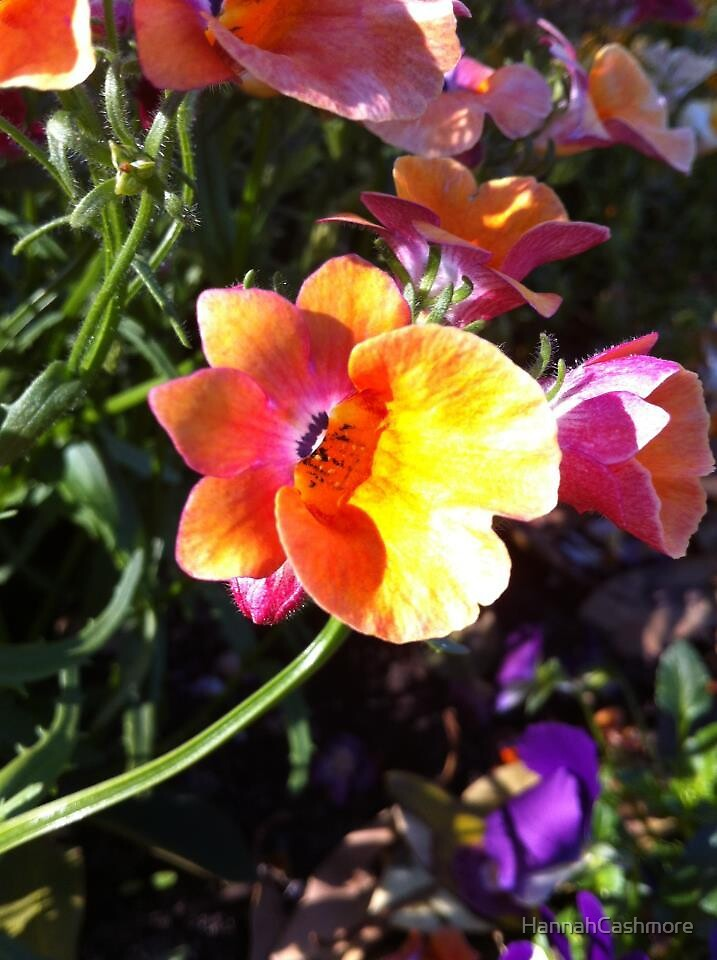 Pink and Yellow/Orange flower  by HannahCashmore