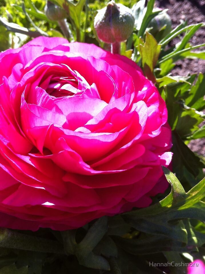 Pink Flower by HannahCashmore