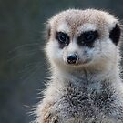 Meerkat Magic by Robyn Carter