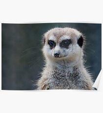 Meerkat Magic Poster