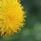 Dandelion by aprilann