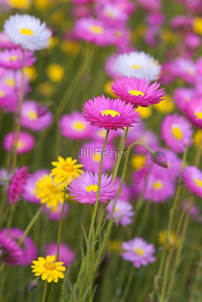 Wildflower Paradise by Jill Fisher