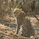 Leopard by roadside by Annie Haycock
