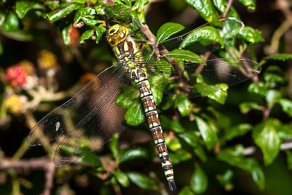 Southern Hawker by Ashley Beolens
